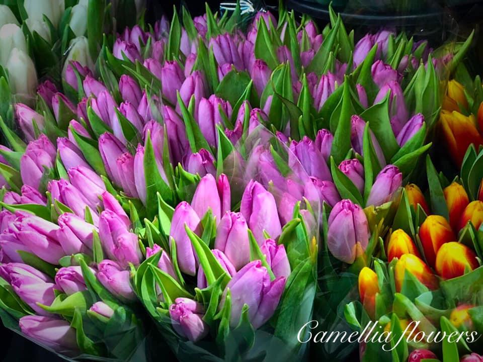 Camellia Flowers Lilled 1 / Цветы 1