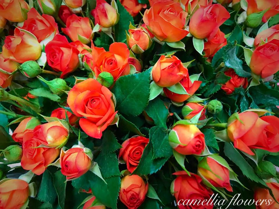 Camellia Flowers Lilled 3 / Цветы 3